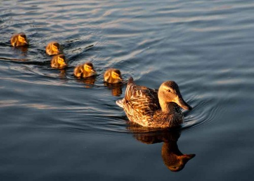ducks-in-a-row (1)