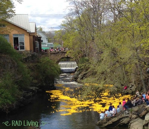 Milford-CT-Duck-Race-2014-10