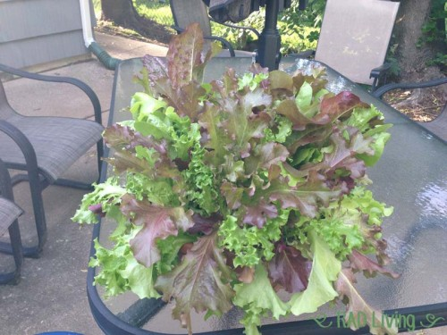 Robert-Treat-2014-CSA-Week3-Lettuce-Bowl
